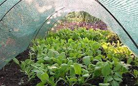 garden greens. Salad Greens Growing Under Shade Net Garden O