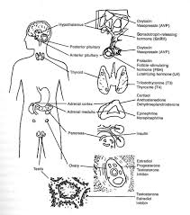 Endocrine System Diagram Coloring Sheet Inner Body Archives - Page ...