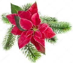 Weihnachten Blume Rot Weihnachtsstern Mit Tanne Zweig