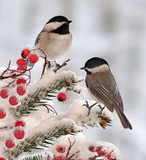 Image result for wintering chickadee