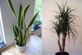 best indoor office plants. great office plants 28 i tochinawest best indoor