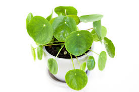 pilea peperomioides how to grow care