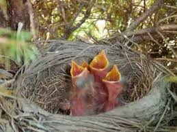 Baby Robins Growth Chart Baby Birds Time Lapse
