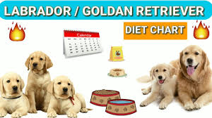 Puppy Feeding Chart Golden Retriever Golden Retriever Weight Online Charts Collection
