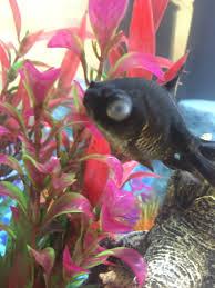 petsmart black goldfish. Perfect Petsmart My Black Moor Has Cloudy Eye Riverj 10 Months Ago For Petsmart Black Goldfish