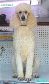 Poodle Coat Colors Overview Of All Colors