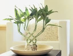 feng shui plant office. How To Use Lucky Bamboo For Good Feng Shui Plant Office