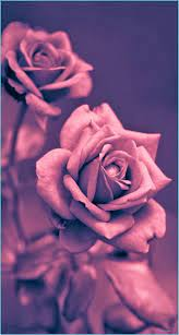 Pretty Rose IPhone Wallpapers - Top ...
