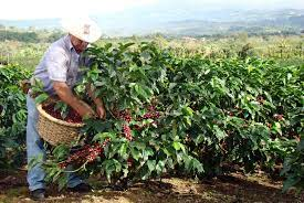 This video is about costa rica coffee plantation. Costa Rican Coffee Costa Rica Real Estate