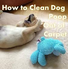 Image result for dog diarrhea carpet