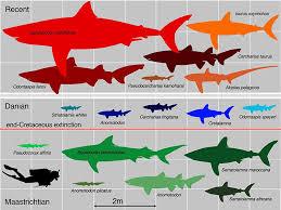 Shark Size Chart Mako Shark Size Chart Sixgill Shark Size Comparison Whale