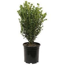 Wintergreen Boxwood Korean Evergreen Shrub Live Landscaping Plants
