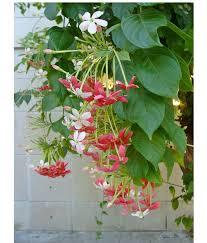 10 Fast Growing Flowering Vines  Best Wall Climbing Vines To PlantWall Climbing Plants India