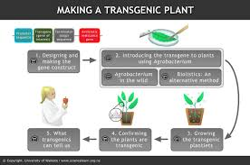 In many cases the inserted dna has to be modified slightly in order to be correctly and efficiently expressed in the host organism. Making A Transgenic Plant Science Learning Hub