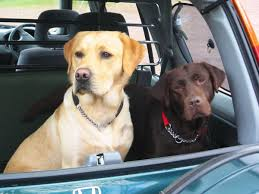 s in the back of a car black and yellow labs