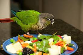 Green Cheek Conure Facts Diet Mutation Lifespan Care As