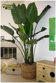 large indoor plants and trees tips on growing tropical indoor plants white bird of paradise shown large indoor plants