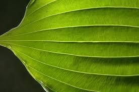 2016 965 26 htm similar leaf venation in aquatic plant greenhouse