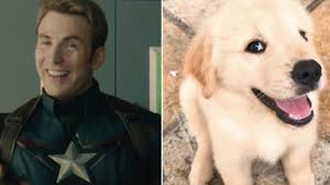 There Is a Twitter Account Dedicated to Comparing Chris Evans to Golden  Retrievers