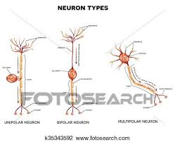 Clipart Of Neuron Types K35343592 Search Clip Art Illustration