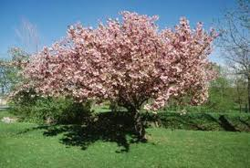 Chilling Requirements For Cherry Trees Home Guides Sf Gate