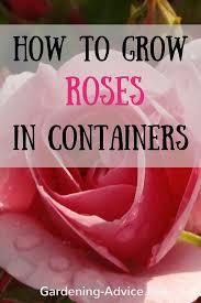 growing roses rose bush care