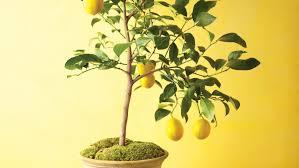 Best Grow Light For Citrus Tree How To Grow Citrus Indoors Martha Stewart