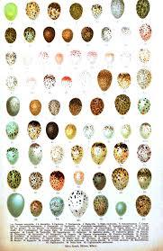 Animal Bird Eggs Italian 1 Vintage Printable At