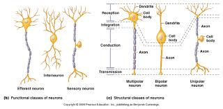 Chemical Synapses