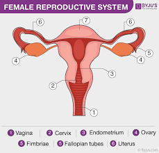 Female Reproductive System Chart Female Reproductive System Overview Anatomy And Physiology
