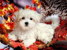 cute maltese dog full screen wallpaper photos hd desktop background free pets widescreen free 1600 1200 wallpaper hd