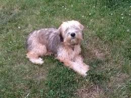 soft coated wheaten terrier 6 months