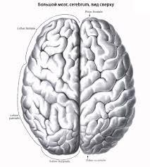 Центральная нервная система человека Анатомия Центральной  Мозжечок