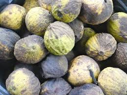 harvesting black walnuts. Interesting Harvesting Black Walnuts Throughout Harvesting Black Walnuts K