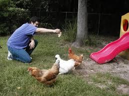 Kippen Houden In Je Tuin Dat Betekent Verse Eieren Iedere Dag