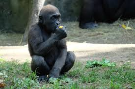 animals in zoo pictures.  Animals Baby Gorilla Bronx Zoo Throughout Animals In Pictures U