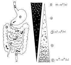 anaerobe bakterien im darm