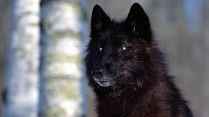 black wolf with blue eyes wallpaper. Perfect With Black Wolf With Blue Eyes By Angelmarilena  Throughout Wallpaper O