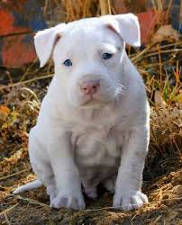 white pitbull terrier puppies. Simple Terrier American Pit Bull Terrier Puppy Dog Puppies Hound Dogs Pitbull Pittie And White Pinterest