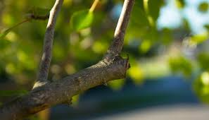 Spring Pruning Chart Trees And Shrubs The Old Farmers