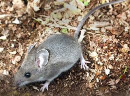 Rodents Lower Classifications Peromyscus Maniculatus