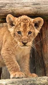 Lion Cub Data Src Lion Cub Wallpaper ...