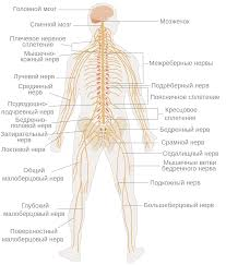 Нервная система Википедия