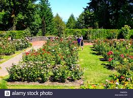the world famous rose gardens atop of washington park in portland oregon