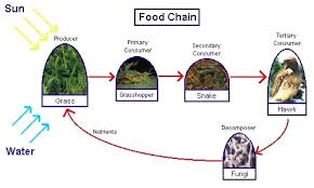 Image result for food chain diagram of tundra