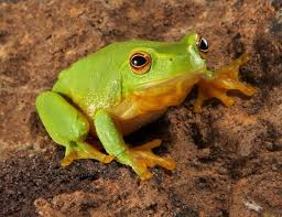 image of a frog. Plain Frog The Frog Is An Amphibian And Itu0027s Scientific Name Anura It Ancient  Greek Word Means That Without Tail Ambhibian Have Ability Live In  In Image Of A Frog