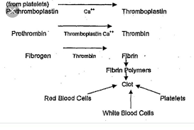 Show Blood Clotting With Help Of Flow Chart Brainly In