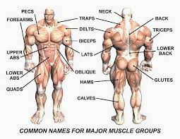 The final function of muscle tissue is the generation of body heat. Sets Reps And Exercises For A Great Workout Muscle Groups To Workout Major Muscles Body Muscles Names