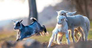 the sheep and the goats in matthew 25