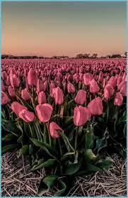 Tulip Bulb Farm Wallpapers - Wallpaper ...